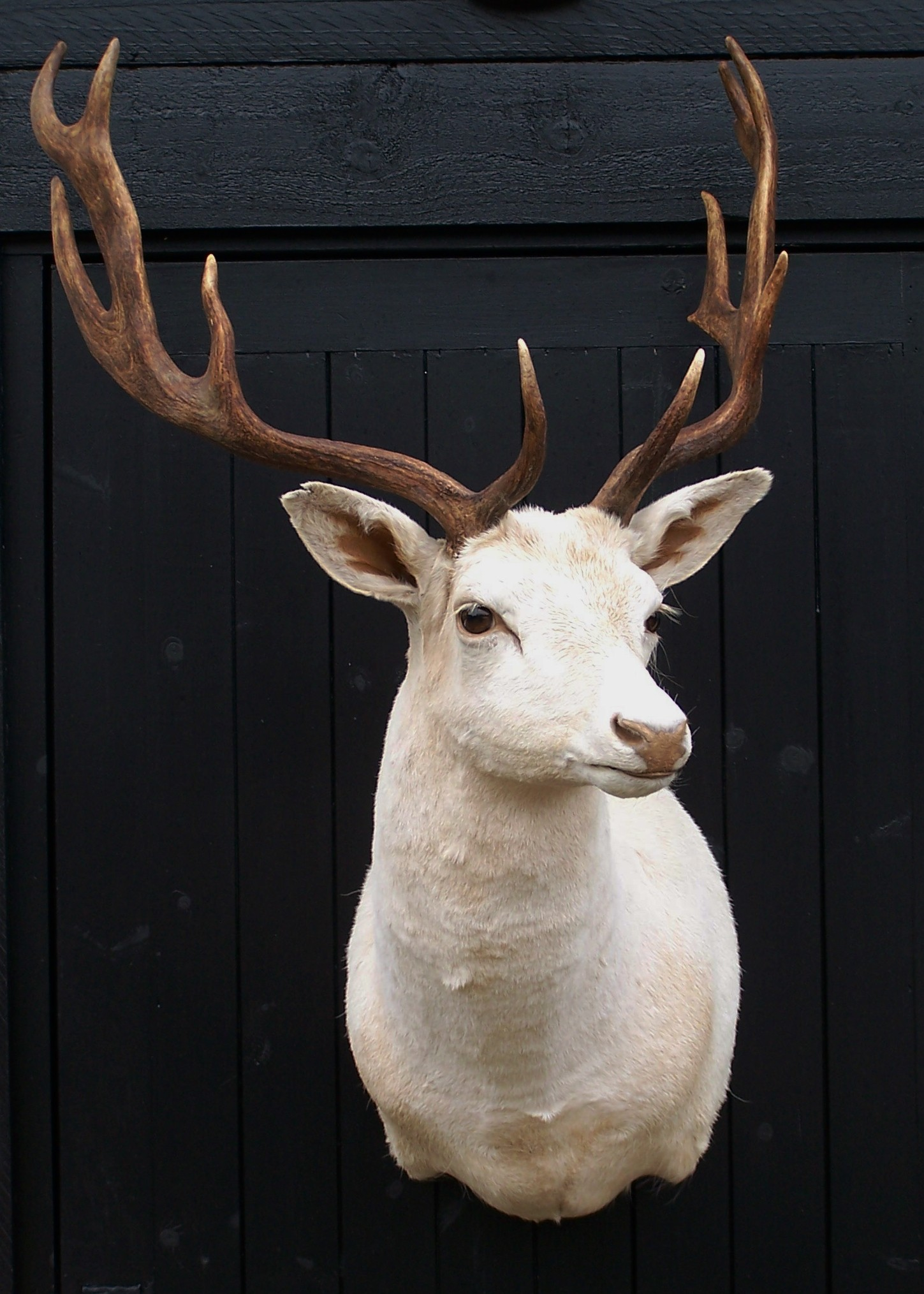 deer/whitefallowbuck.jpg