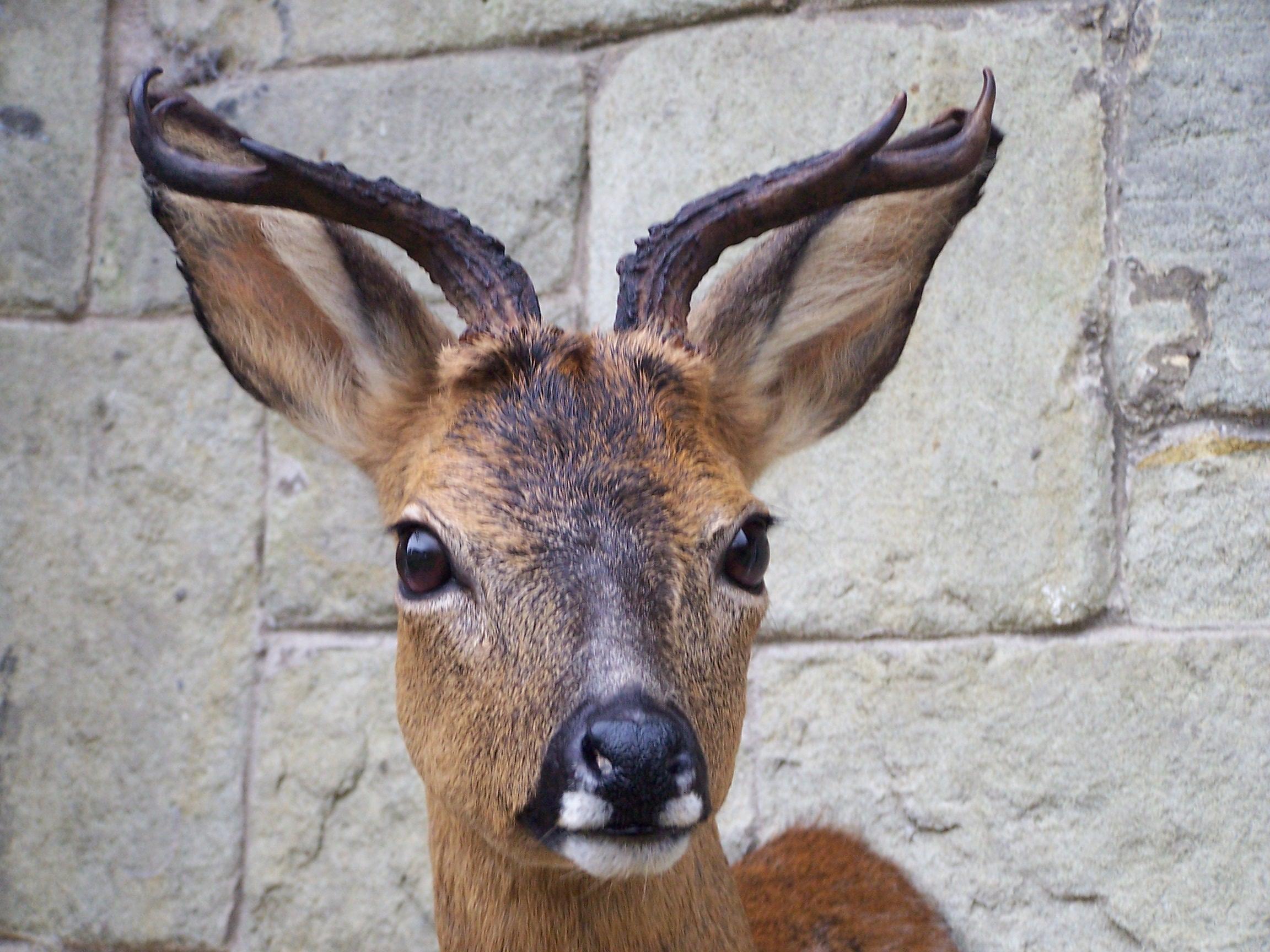 deer/youngroebuckoddhead.jpg