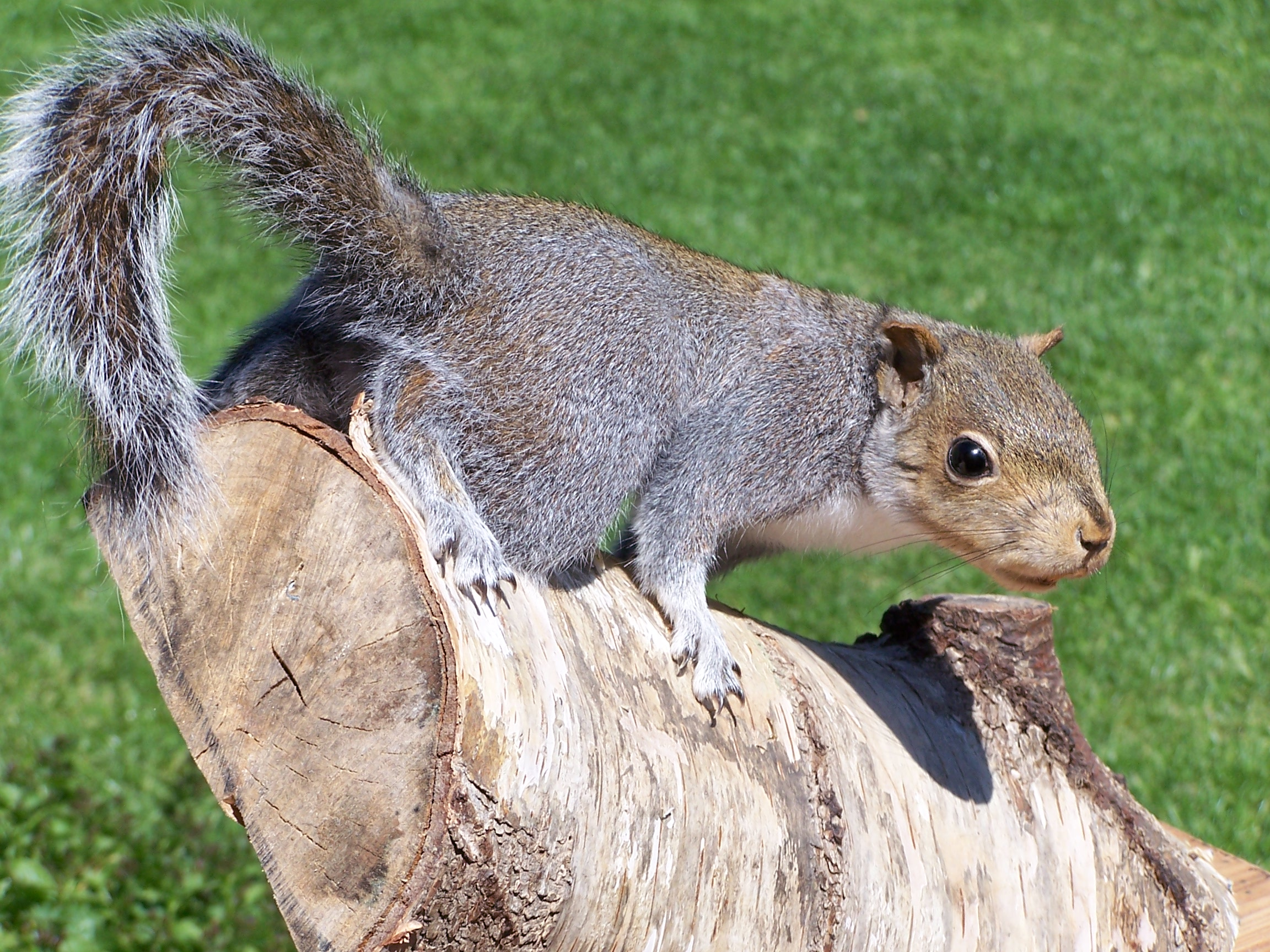 mammals/greysquirrel.jpg