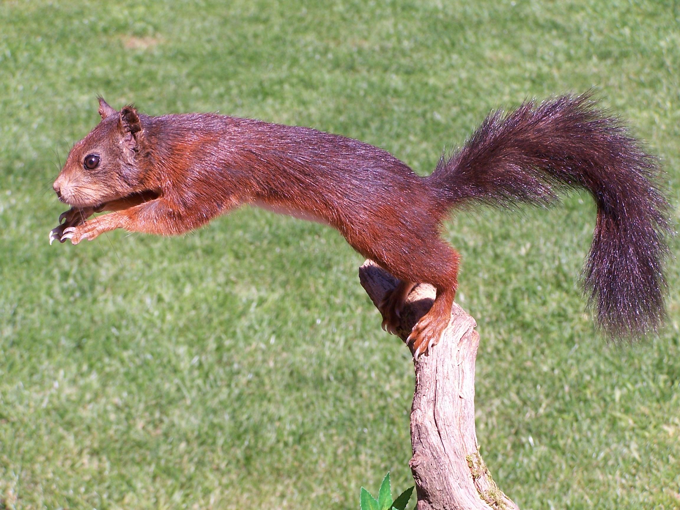 mammals/leapingredsquirrel.jpg